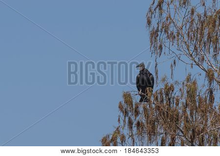 Black vulture in a tree with blue sky