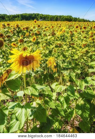 Beautiful field of sunflowers in Northern Michigan in summer