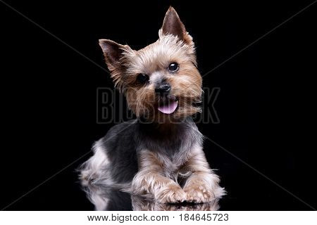 Studio Shot Of A Cute Yorkshire Terrier