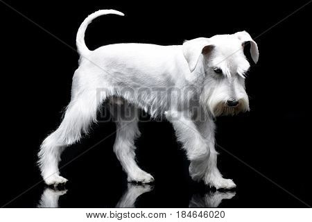 Studio Shot Of A Cute Miniature Schnauzer
