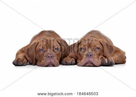 Studio Shot Of Two Adorable Dogue De Bordeaux