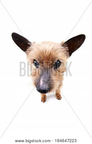 Wide Angle Portrait Of A Blind Yorkshire Terrier