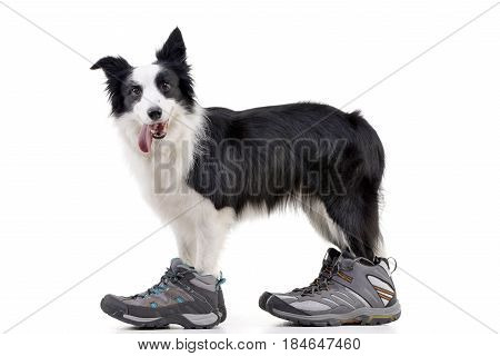 An Adorable Border Collie Wearing Men's Shoes