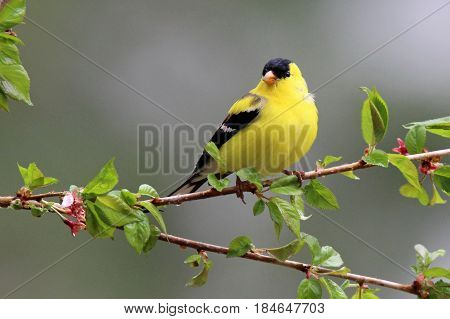A male American goldfinch (Carduelis tristis) perching on flowering branches in Spring.