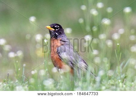 An American robin Turdus migratorius hopping about in a wildflower meadow in Spring