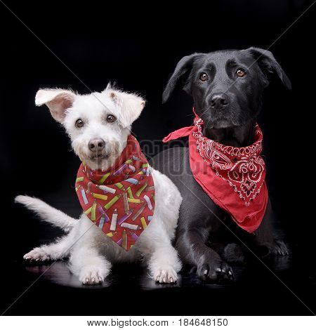 Studio Shot Of Two Adorable Mixed Breed Dog