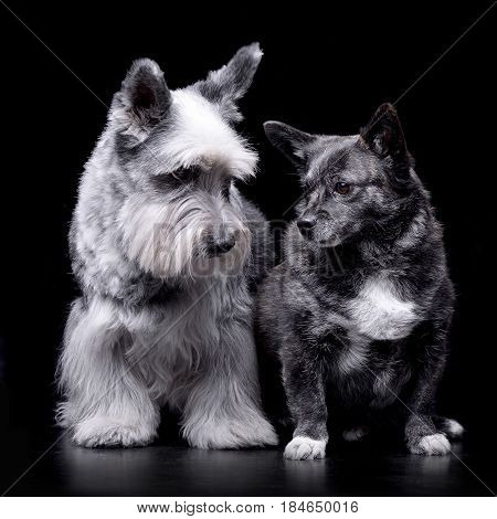Studio Shot Of An Adorable Miniature Schnauzer And A Mixed Breed Dog