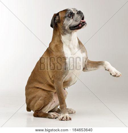 Studio Shot Of An Adarable Boxer