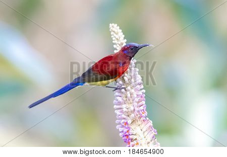 Mrs Gould's Sunbird : Bird shot in thailand