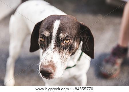 Serious German Shorthaired Pointer