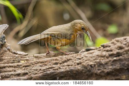 Rusty-cheeked Scimitar Babbler : Bird in thailand