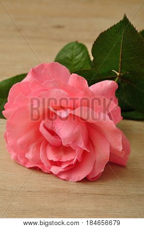 A pink rose isolated on a wooden background