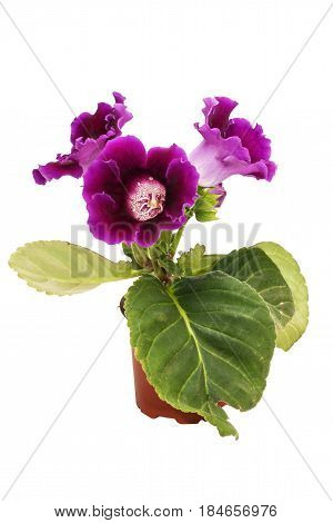 Flowers of violet gloxinia (Sinningia) in a brown pot isolated on white background close-up