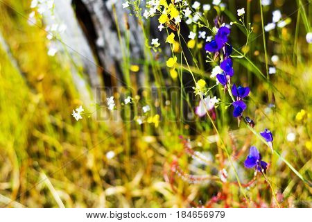 Blooming Utricularia delphinoides Thor.ex Pell. flower in the field at Mukdahan Nation Park Thailand.