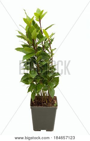 Laurus nobilis in pot on white backrgound