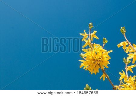 Yellow Forcing Flowers Forsythia Europaea In The Spring Against The Blue Sky