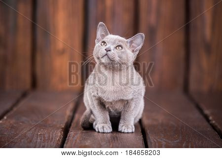 Breed Of European Burmese Cat, Gray, Sitting On A Brown Wooden Background