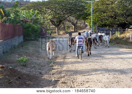 Herding Cows Down The Road