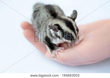 Female hand with cute sugar glider on white background, closeup