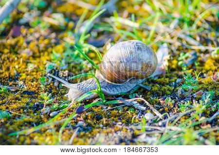 A Large Snail Slowly Crawls Along The Grass.