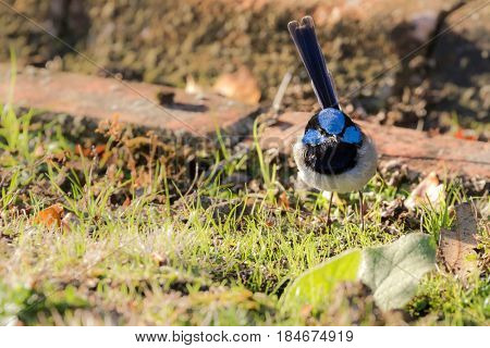 Cute little Superb Fairy Wren, Blue wren male bird with distinctive blue crown, ear coverts, upper back foraging grass for food in evening, Tasmania, Australia (Malurus cyaneus)