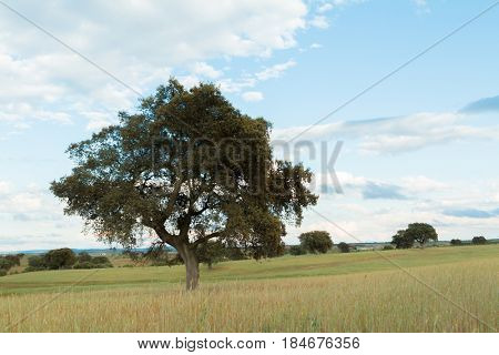 Beautiful landscape with holm oaks in the meadow