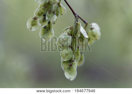 Immature fruits of a European white elm (Ulmus laevis)