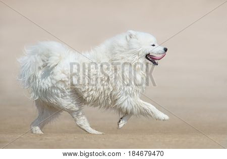 White fluffy dog of breed Samoyed dog running on beach. Monochrome sand color background. Summertime horizontal outdoors image. Side view.