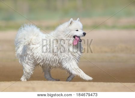 White samoyed dog running on beach. Full color nature background. Summertime horizontal outdoors image. Side view.