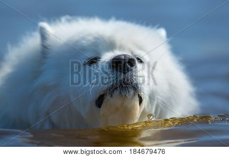 White samoyed dog swimming in sea.  Horizontal outdoors image. Front view. Close up.