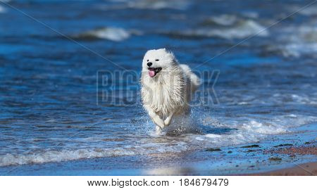 Samoyed dog running on sea beach. Full color summertime horizontal outdoors image. Concept about animals and nature.