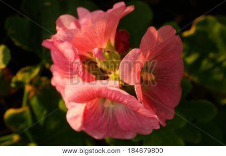 Pink hollyhock flower in garden. Very beautiful flower blooming bright green natural.