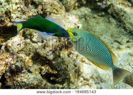 Two colored fish and jellyfish over the seabed. Phuket island, Thailand