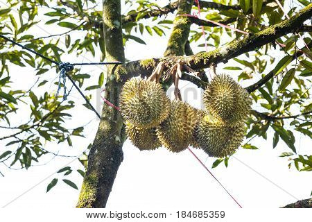 Mon Thong Durian, King Of Tropical Fruit On Tree