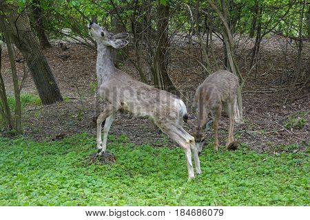 Deer nibbling on tree leaves at a park in Boise, Idaho.