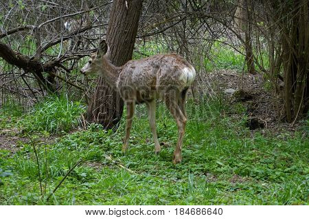 Deer in a forest parked at the city of Boise, Idaho.