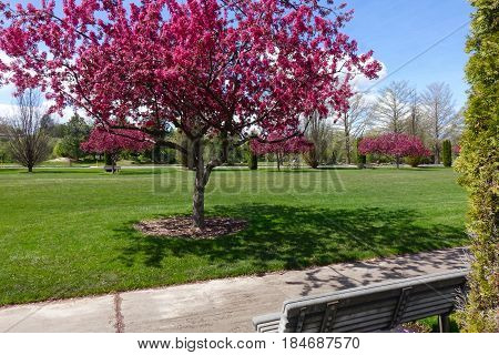 Bright pink crabapple blossoms brighten a park in Boise, Idaho.