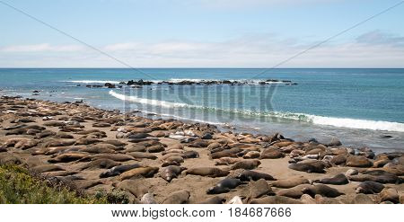 Elephant Seals resting in the sun at Piedras Blancas north of San Simeon on the Central Coast of California USA