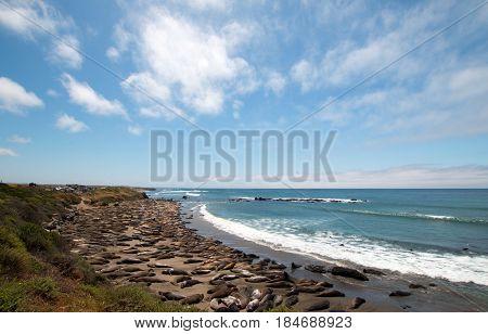 Elephant Seals at Piedras Blancas north of San Simeon on the Central Coast of California U S A