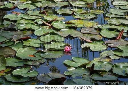 Lily pads on a pond in Boise, Idaho during the autumn.