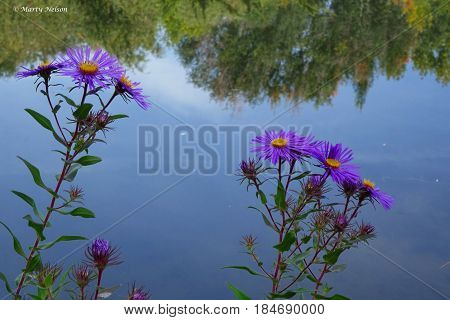 Purple asters bloom in front a reflective pond in Boise, Idaho during autumn.