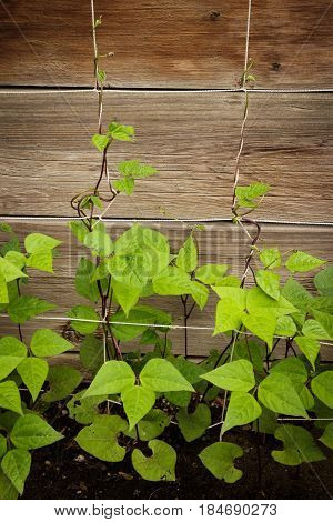 Purple green bean plants growing organically on a trellis in the back yard.