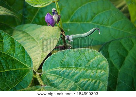 Young purple green beans growing up amongst a field of lush leaves.