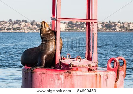 Close-up view of a California sea lion (Zalophus californianus) on a buoy in the San Diego harbor.
