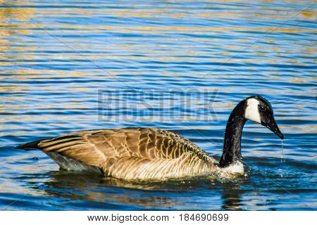 Water dripping off the beak of a goose swimming in a lake.