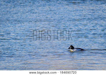 Common goldeneye duck on the lake swimming lazily.