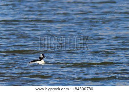 Bufflehead duck swimming lazily on a beautiful blue lake.