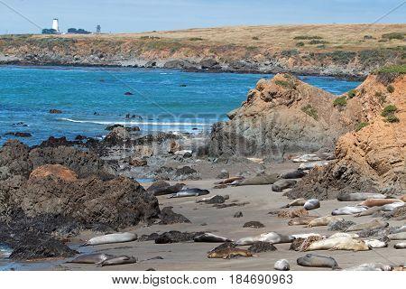 Elephant Seal Colony at Point Piedras Blancas lighthouse north of San Simeon on the Central Coast of California USA