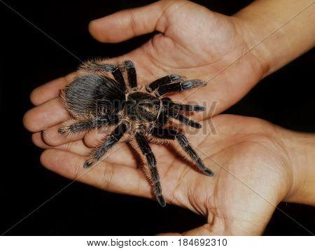 Big beautiful female tarantula spider crawling in the hands.