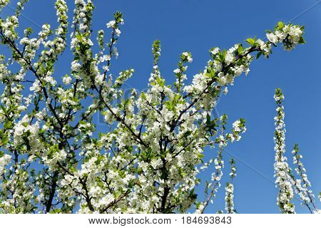 Beautiful white cherry blossom in spring time over blue sky